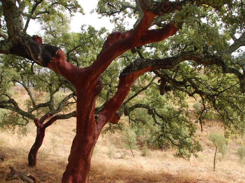 Пробковое дерево фото как выглядит
